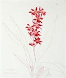 Cambria 'Living Fire' (Orchid Portfolio 7)