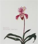 Paphiopedilum Insigne Hybrid (Orchid Portfolio 1)