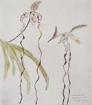 Paphiopedilum sanderianum (Orchid Portfolio 10)