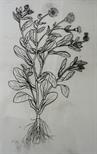 Drafting film for print 'Calendula Officinalis'