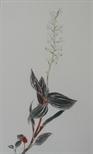 Ludisia Discolor, Jewel Orchid