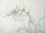 Orchidaceae - Brassia gireoudiana l
