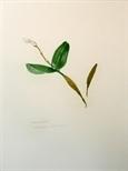 Orchidaceae - Dendrobium atroviolaceum