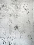 Orchidaceae - Masdevallia