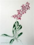 Orchidaceae - Phalaenopsis