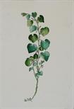 Aristolochia Clematis