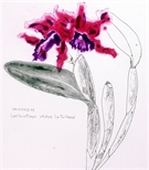 Orchidacae Laeliocattleya chinco 'La Tuilerie'